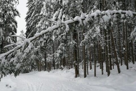 Afgebroken of afgescheurde boomtak door sneeuw