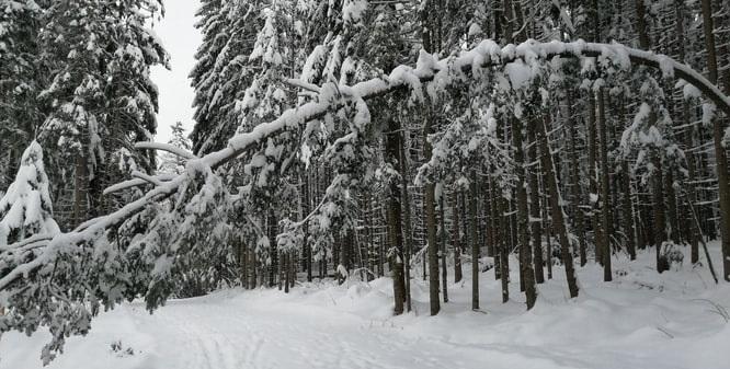 boomschade door sneeuw